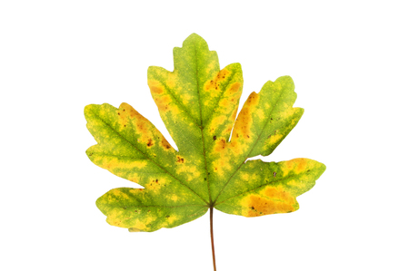 sycamore leaf: Autumnal Sycamore, Acer phseudoplatanus, leaf isolated against white Stock Photo