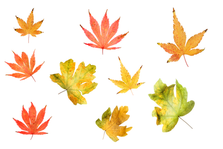 russet: Selection of Autumnal Acer and Maple leaves isolated against white