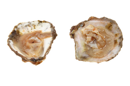 shucked: Two opened fresh British native oysters in shells isolated against white