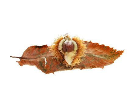 castanea sativa: Sweet chestnut,Castanea sativa, seed and leaf isolated against white Stock Photo