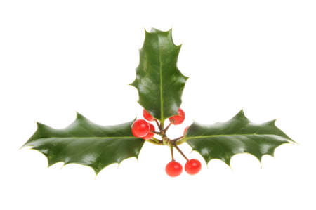 drupe: Holly with red ripe berries isolated against white Stock Photo