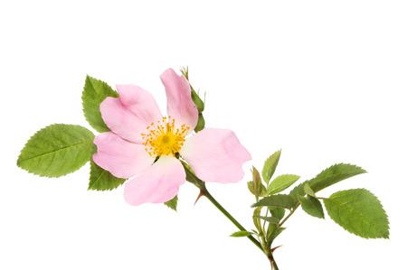 Dog rose, Rosa canina, flower and foliage isolated against white