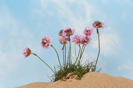 wispy: Thrift or Sea pink flowers growing in sand against a blue sky with wispy white clouds
