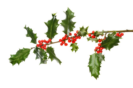 laden: Holly bough laden with red berries isolated against white