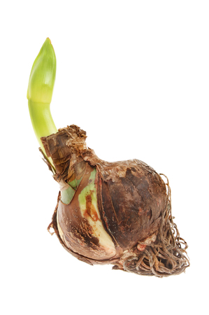 flower bulb: Amaryllis bulb with shooting flower bud isolated against white