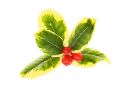 variegated: Variegated holly with ripe red berries isolated against white Stock Photo