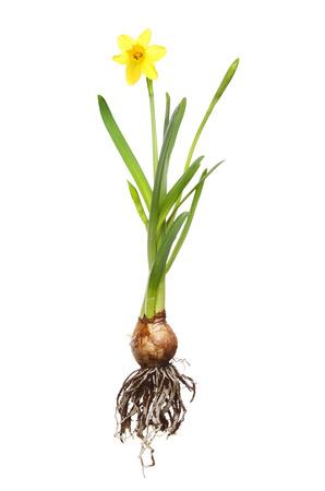 raices de plantas: Tete a Tete planta de narciso, raíces, bulbo, flor brotes y hojas aisladas contra blanco Foto de archivo