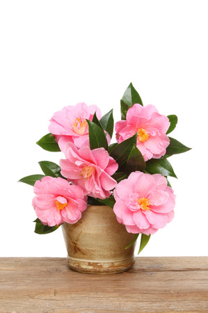 stoneware: Arrangement of Camellia flowers and foliage in a stoneware pot on a wooden board against a white background