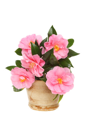 stoneware: Arrangement of Camellia flowers and foliage in a stoneware pot isolated against white Stock Photo