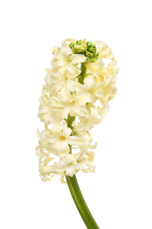 cream colored: Cream colored Hyacinth flower spike isolated against white