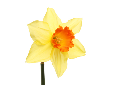 anther: Single bright yellow and orange Daffodil flower isolated against white Stock Photo