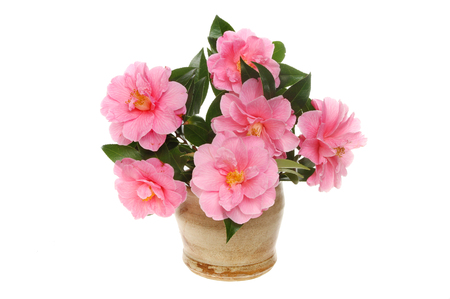 stoneware: Arrangement of magenta Camellia flowers with foliage in a stoneware pot isolated against white