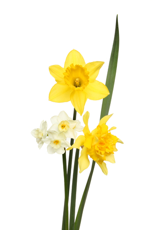 frilly: Three different Daffodil flowers and a leaf isolated against white