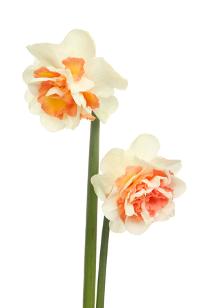 frilly: Two frilly white and orange Daffodil flowers isolated against white