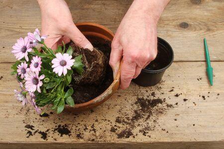 potting: Hands potting an Osteospermum plant on a potting bench Stock Photo