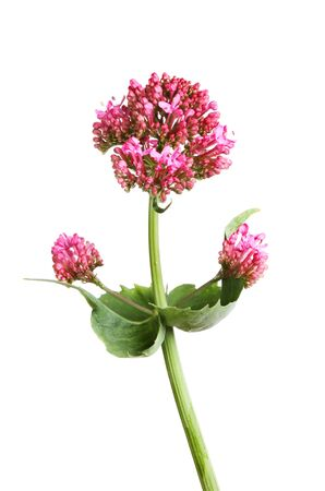valerian plant: Red Valerian, Centranthus ruber, flower and foliage isolated against white