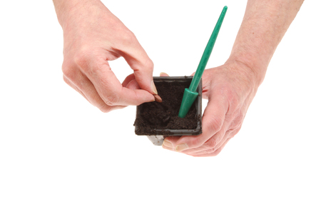 runner bean: Pair of hands planting a runner bean seed into a plastic pot isolated against white Stock Photo