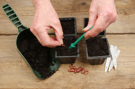 runner bean: Closeup of a pair of hands planting runner bean seeds into pots on a wooden potting bench Stock Photo
