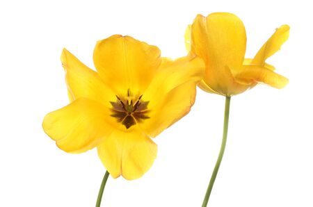 anther: Two yellow Tulip flowers isolated against white