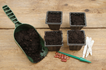potting: Pots full of compost wuth runner bean seeds on a potting bench Stock Photo