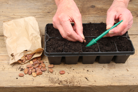 potting: Closeup of hands planting broad bean seeds into a modular seed tray on a potting bench