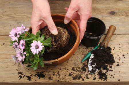 osteospermum: Closeup of hands potting on an Osteospermum plant on a wooden potting bench