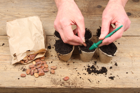 broad bean: Hands planting broad bean seeds into biodegrabable pots on a potting bench