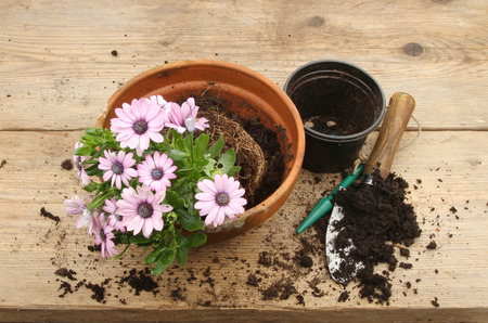 osteospermum: Osteospermum plant for potting on on a wooden potting bench Stock Photo