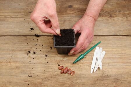 potting: Hands planting a runner bean seed into a plant pot full of compost on a wooden potting bench Stock Photo