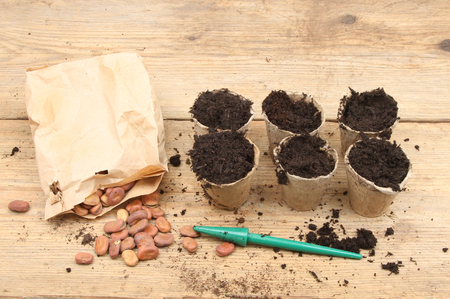 potting: Broad bean seeds and biodegradable plant pots on a potting bench
