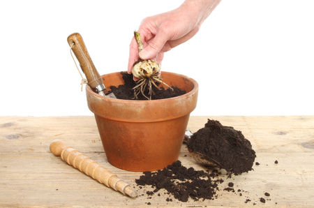 potting: Hand planting a Lilly bulb into a terracotta pot on a potting bench against a white background Stock Photo