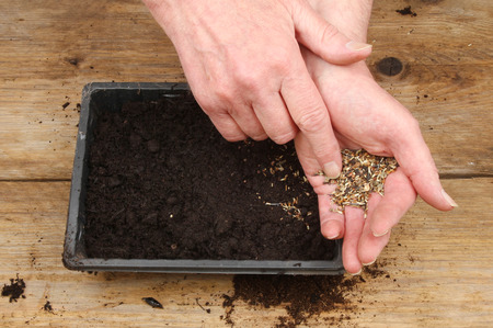 potting: Closeup of hands sowing seeds into a seed tray filled with compost on a wooden potting bench