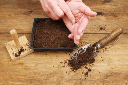 siembra: Primer de las manos que siembran las semillas en copost en una bandeja de semillas en un banco del encapsulamiento