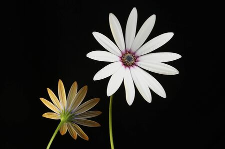 osteospermum: Front and back views of Osteospermum flowers against a black background