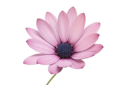 Osteospermum flower with mauve petals and a blue center isolated against white