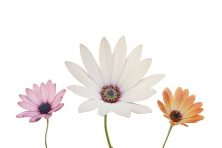 Mauve, white and burnt orange Osteospermum flowers isolated against white