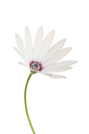 osteospermum: White Osteospermum flower with a brightly colored center isolated against white