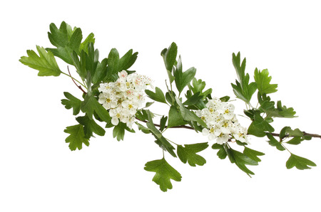 Hawthorn Blumen und Laub getrennt gegen Weiß