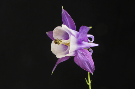 anther: Purple Aquilegia flower isolated against black