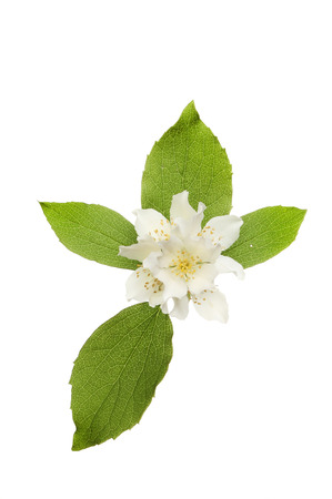 philadelphus: Mock-orange,Philadelphus, flowers and foliage isolated against white Stock Photo