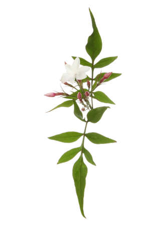 White Jasmine flower, buds and leaves isolated against a white background