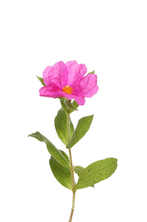 hoary: Pink Rock-rose, Cistus creticus, flower and foliage isolated against white