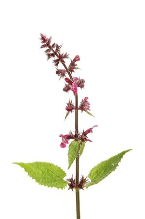 stinging  nettle: Flowering stinging nettle, Urtica dioica,isolated against white