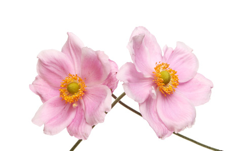 Two Japanese Anemone flowers isolated against white