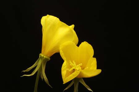 evening primrose: Two Evening Primrose flowers isolated against black