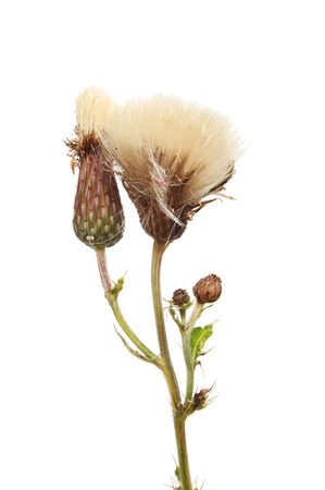 Creeping Thistle,Cirsium arvense, seed heads and foliage isolated against white Stock Photo