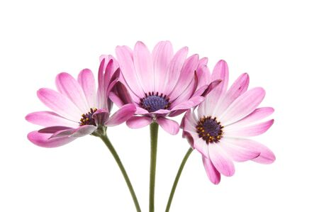Three Osteospermum flowers isolated against white