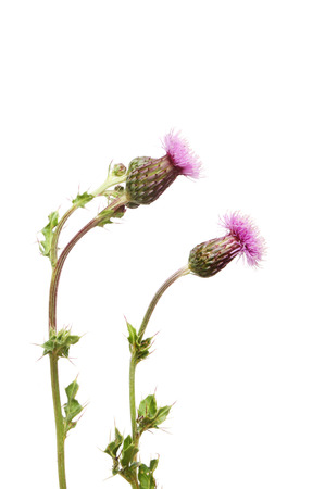 Creeping Thistle, Cirsium arvense, flowers and foliage isolated against white
