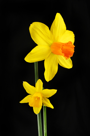 Two Daffodil flowers isolated against a black background
