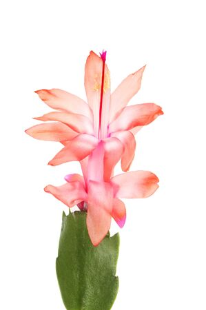 Closeup of a salmon colored Schlumbegera, Christmas cactus flower isolated against white Stock Photo